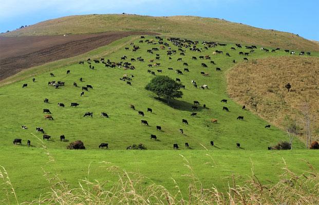 Nicht nur Schafe auch Kühe gibt es viele.