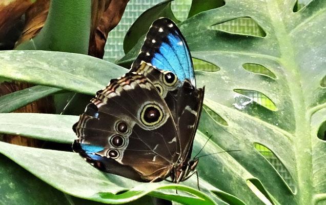 Geschlossene Flügel....