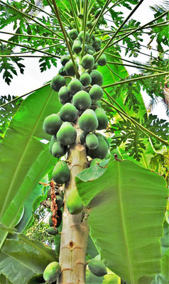 Der Papayabaum