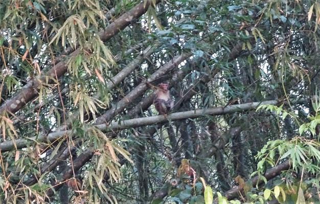 Sass im Bambuswald.