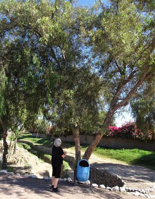 Der Molle Baum dessen Blätter.....