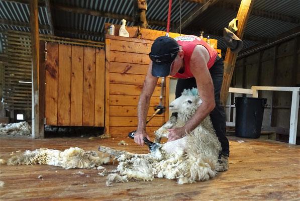 .....das Schaf geschoren. Normal sind es ca. 250 in 9 Stunden.