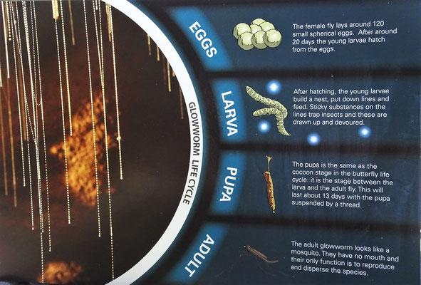 Der Lebenszyklus der Glühwürmchen.