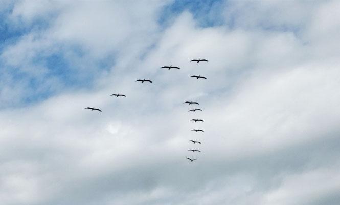 Pelikane im Formationsflug.