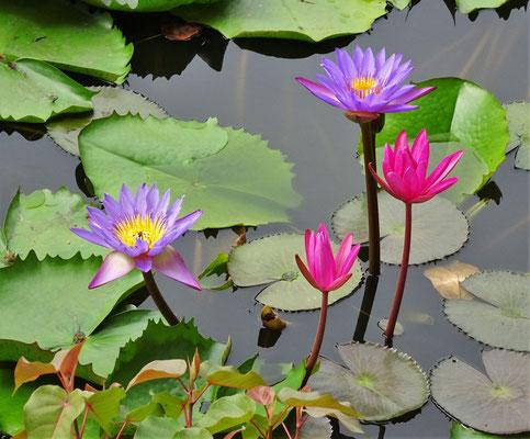 ....den Wasserlilien.
