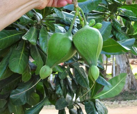 Die Frucht des Fischgiftbaumes.