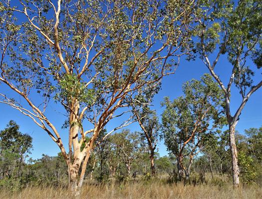 Eukalypthus Bäume.