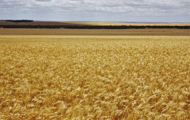 Die goldenen Felder standen.....