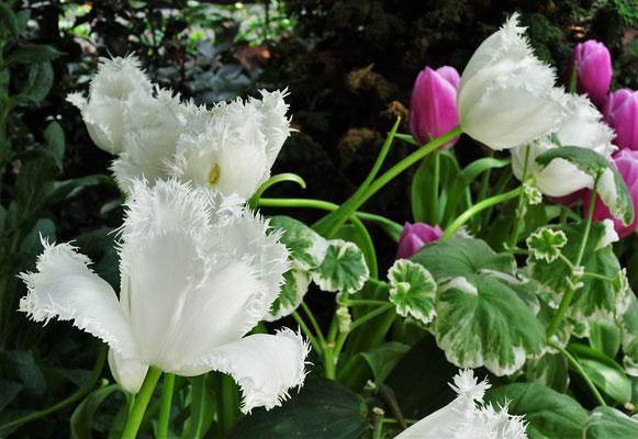 Tulpen mit eigenartigem Rand.