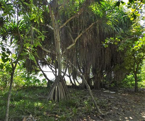 Die Vegetation auf Gili.
