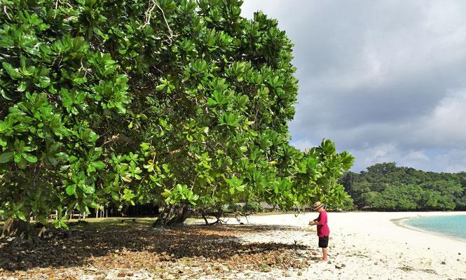 Von diesem Tamanu Baum wird aus den......