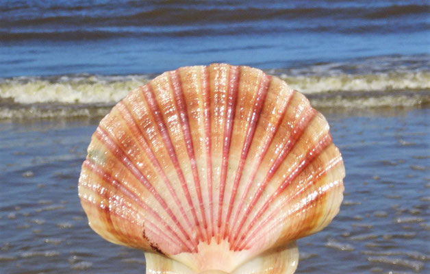 Am Strand fanden wir diese Muschel.....