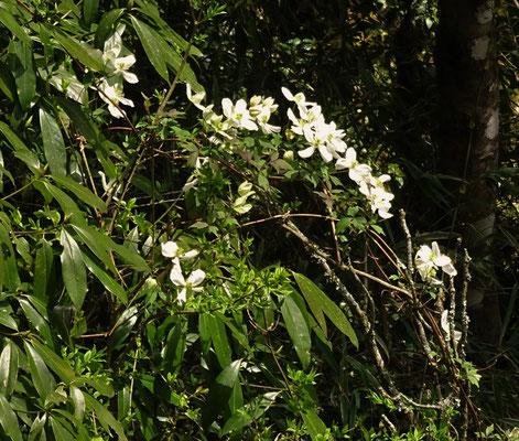 Wilde Orchiden