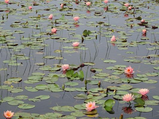 ...mit dem Lotus Teich.