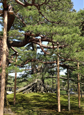 Ein Nadelbaum.....