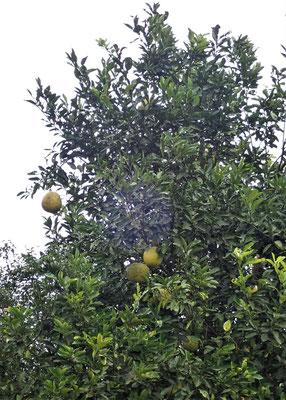 ....mit den grossen Früchten....