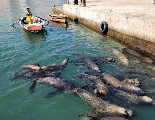 Diese Gruppe Seelöwen....