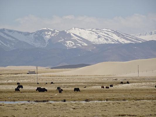 ..und die Yaks vor der Bergkulisse