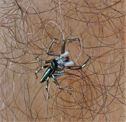 Eine Spinne auf Ugos Armhaaren.