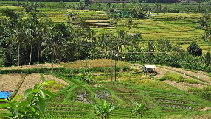 Die Reisterrassen von Jatiluwih....