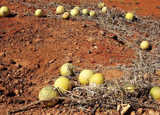 Peddy Melonen essen die Kamele.