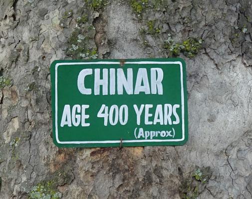 Ein 400 Jahre alter Ahorn