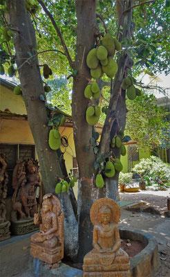 Ein Jackfruchtbaum.....