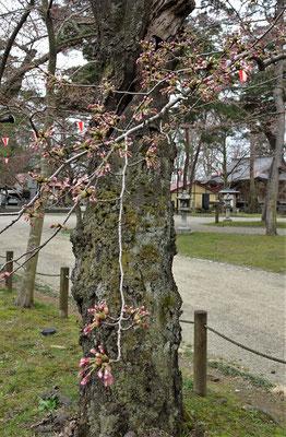 Alte knorrige Kirschbäume....