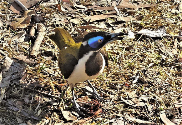 Auch die Blue-Faced Honeyeater.....