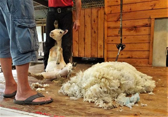 Bei einem Lamm gibt es ca. 1.5 kg, beim Schaf ca. 5 kg Wolle.