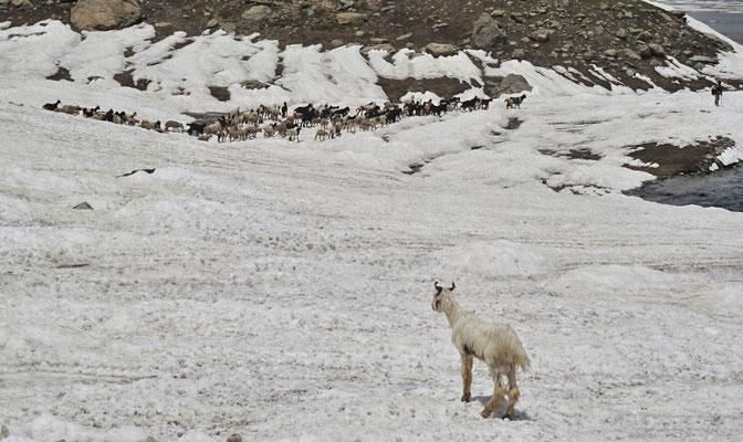 Der Kashmirbock überwacht seine Herde
