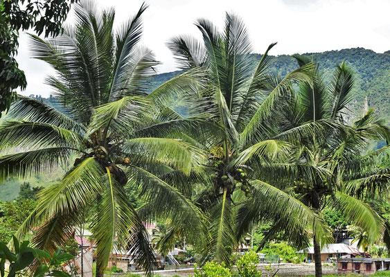 Kokospalmen...