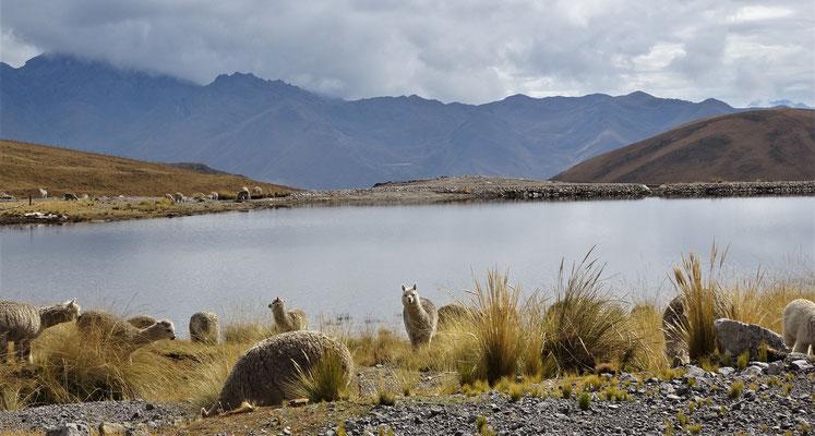 Die Alpacas auf 4'200m.....