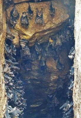 Eine Fledermauskolonie zwischen den Felsen.