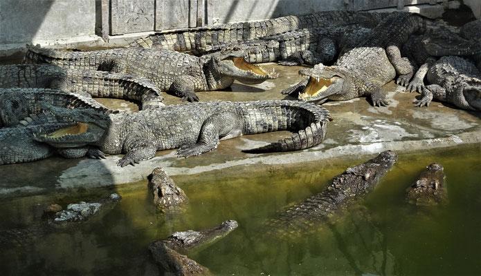 .....hungrigen Krokodile.