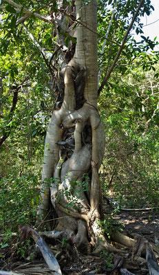 Umklammerter Baum