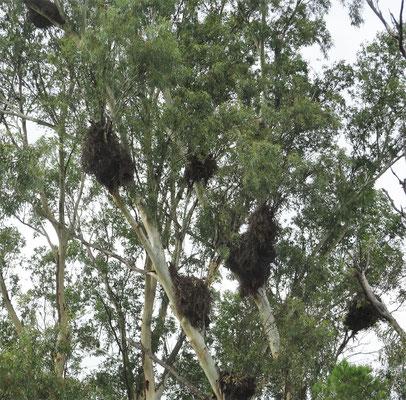 ......mit ihren Nester in den Bäumen.....