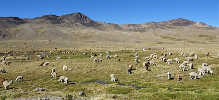 .....und Alpaka Herden....