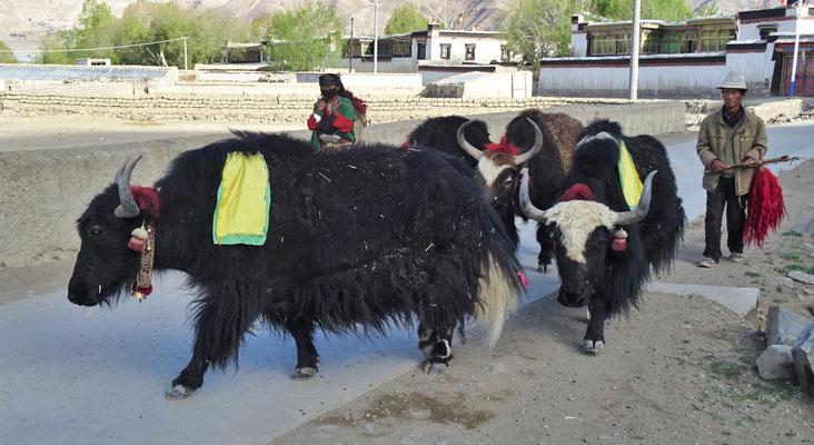 ...die Yaks auf die Felder getrieben...