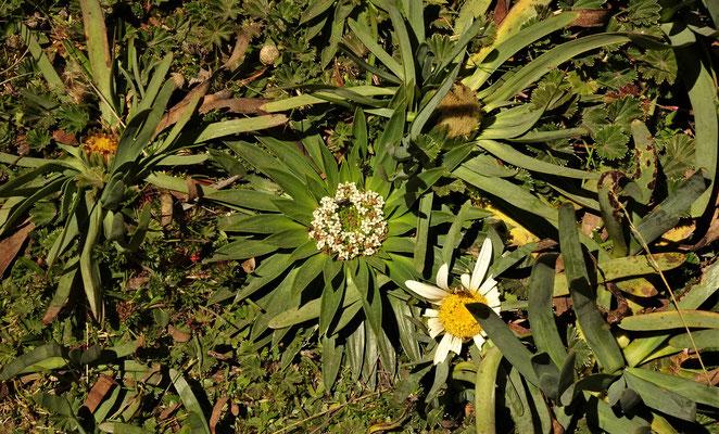 Die Flora auf 4'100m.