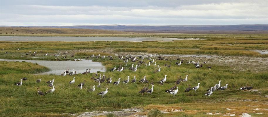 Die Patagonia Gans.