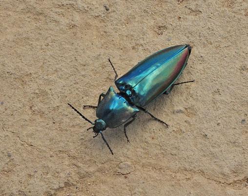 .....und diesen Käfer.