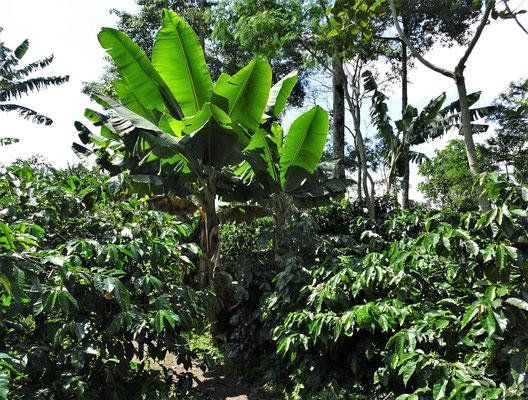 Mit Bananen- und Fruchtbäumen.....