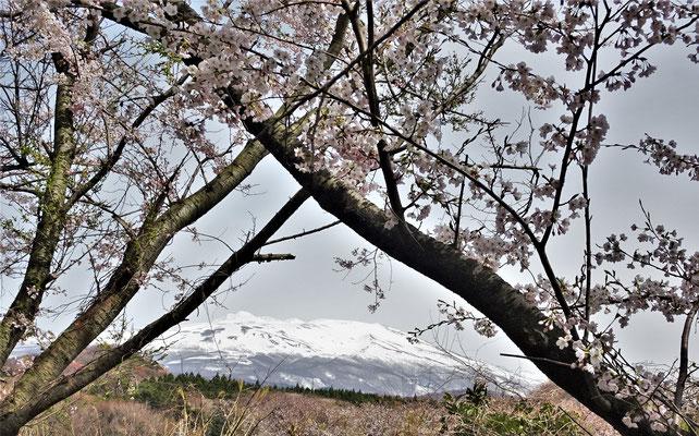 Hier noch mit den Kirschblüten.