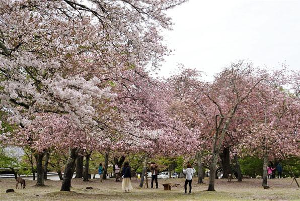Auch hier viele Kirschbäume...