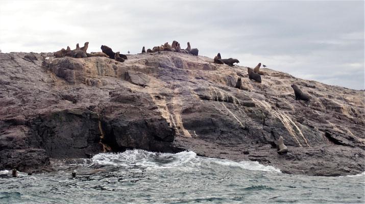 Seelöwen auf einem Felsen.