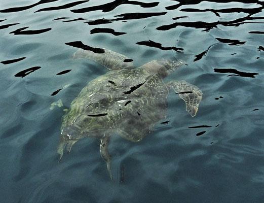 Grüne Meeres-Schildkröten.....