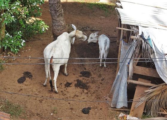 ...mit den Kühen und deren...