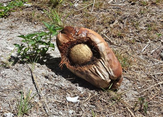 Hier war die Kokoskrabbe am Werk.