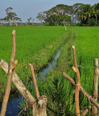 Die Reisfelder der.....